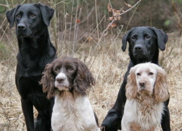 Gun Dog Training Surrey